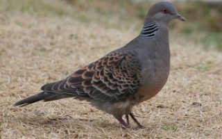 Охота на голубя с пневматикой